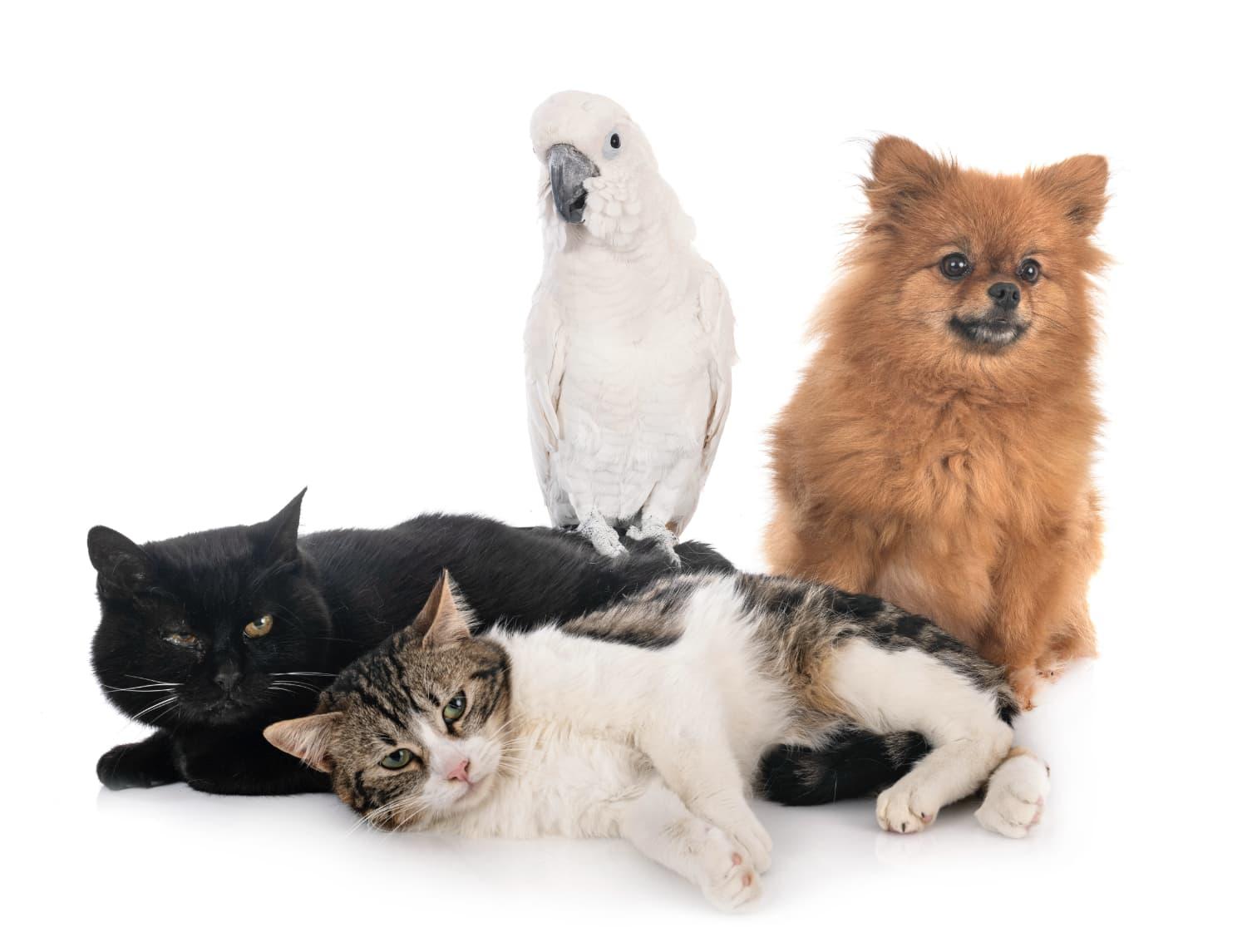 stray cats spitz and cockatoo BFK6ZDK@2x